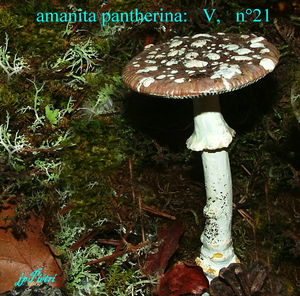 amanita_pantherina___n__21