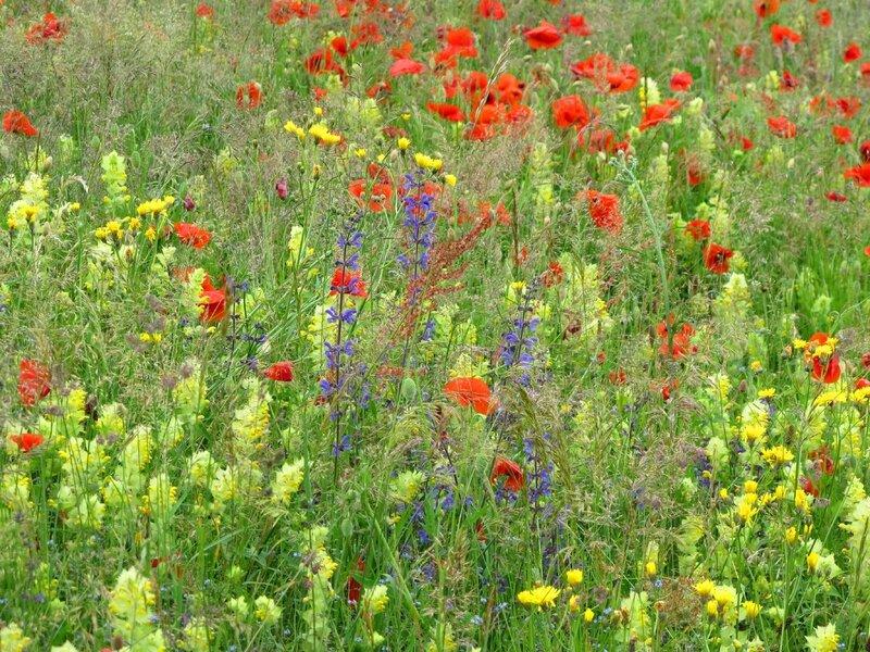 20- Prairie fleurie