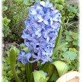 Belle bleue