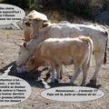 Histoires vaches.....