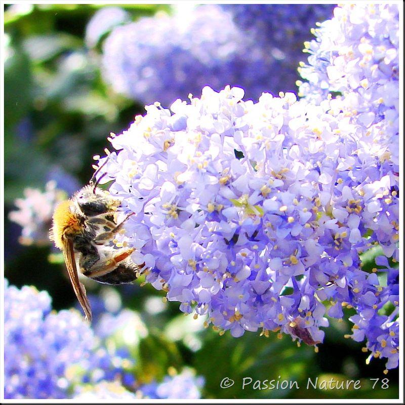 Les abeilles (5)