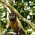 Cebus apella - Capucin brun