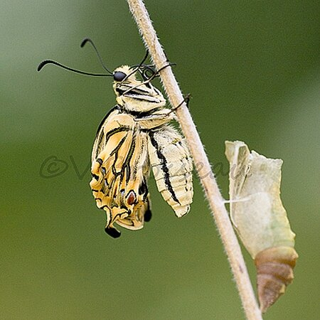 machaon008b