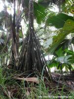 55_Palmier racines