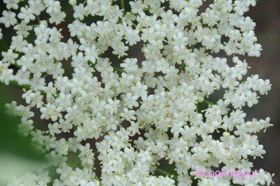 fleurs_de_sureau_detail