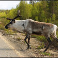 252-Reindeer-2