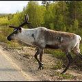 252-Reindeer-2