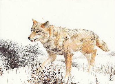 CPM Canis Lupus Loup gris