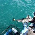 vue en hauteur d'un grand requin blanc