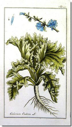 Cichorium_endivia_1800_illustration_bio