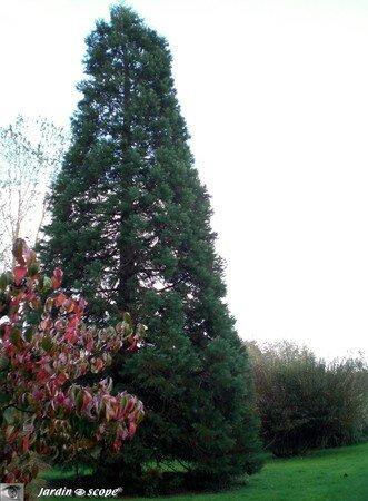 7980_Sequoia
