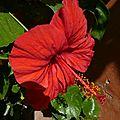 P1210953 GOREE Hibiscus Rouge