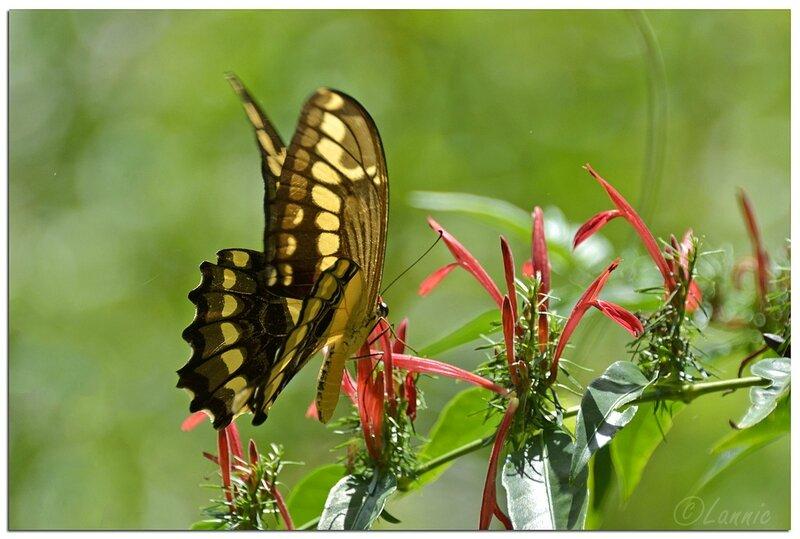_Argentine_594_Iguazu_papillon