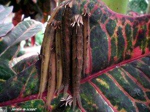 Chenilles de Coligo eurilochus