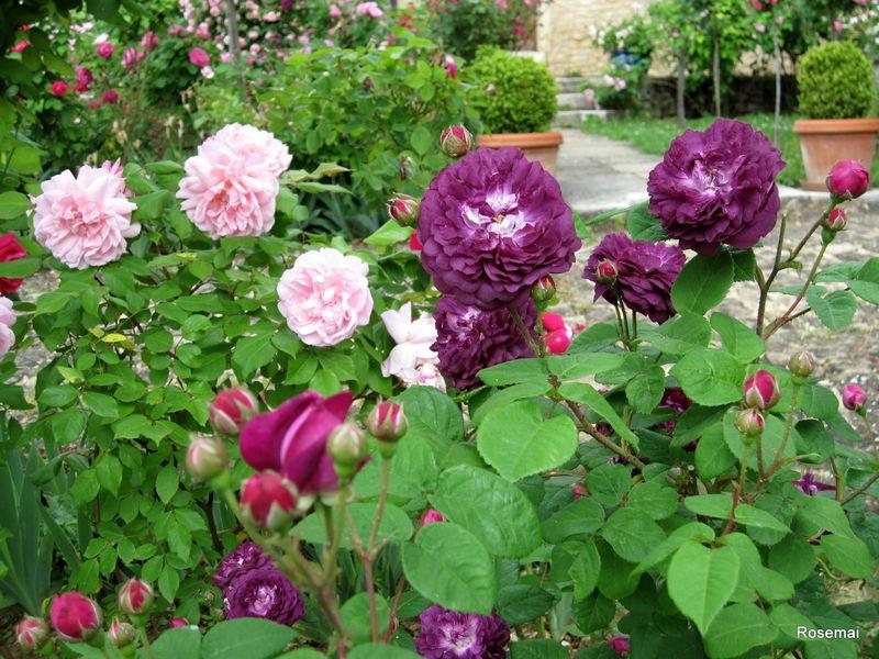 roses de mon jardin le 39 rosier ev que 39 aux teintes violac es aux origines lointaines et. Black Bedroom Furniture Sets. Home Design Ideas