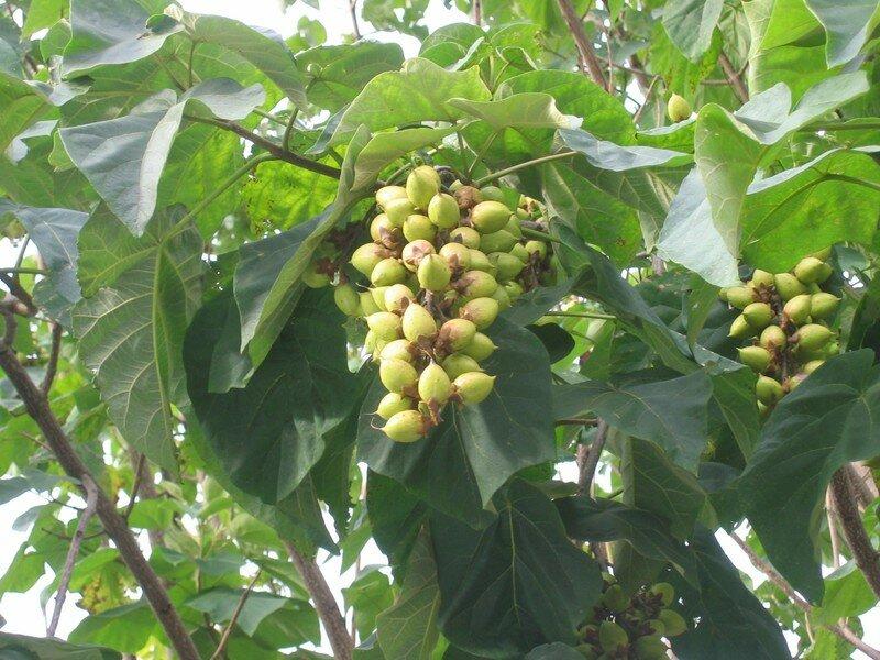 Brassac les mines 63 puy de d me le blog de colette - Arbre murier fruit comestible ...