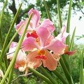 orchid_37
