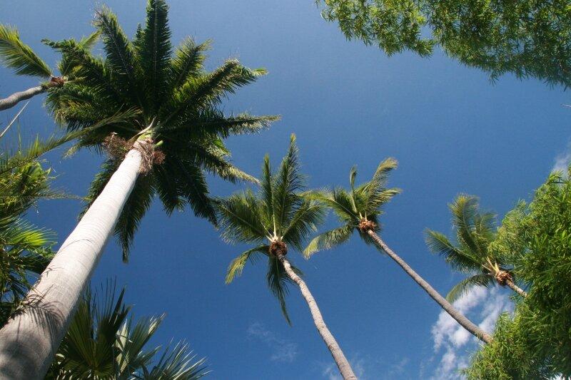 palmier jardin deden