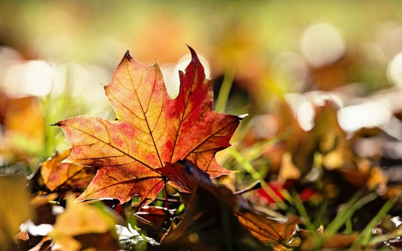 nature-leaves-maple-leaf-autumn-1680x1050-wallpaper