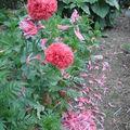 2008 08 14 Un pavot annuelle en fleur