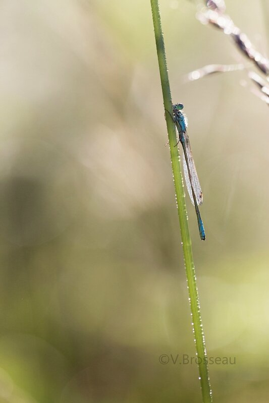 agrion15-05