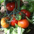 2009 07 25 Tomates Mirmande