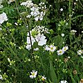 Malva moschata 'alba', achillea nobilis ssp. neilreichii, valeriana sitchensis, kalimeris incisa 'alba'