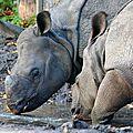 Un rhinocéros indien arrive dans le beaujolais !