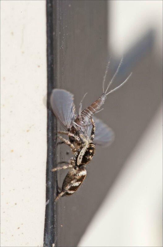 ville 105 araign zebre proie 4 070515