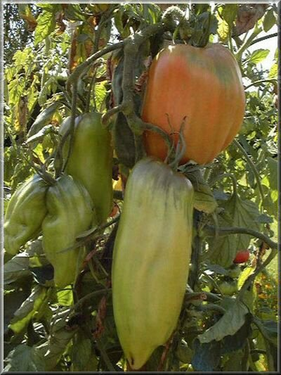 15 - tomate opalska - www.passionpotager.canalblog.com
