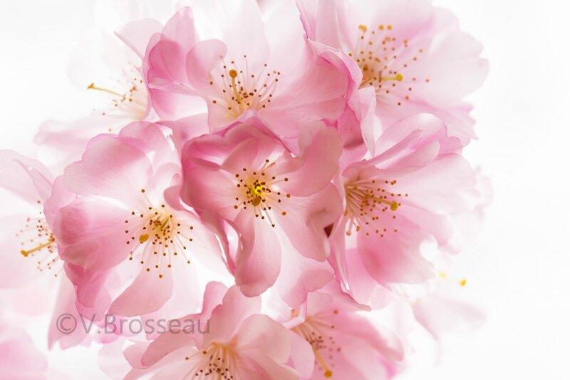 cerisier-japon15-02