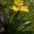 Tulipe jaune 10
