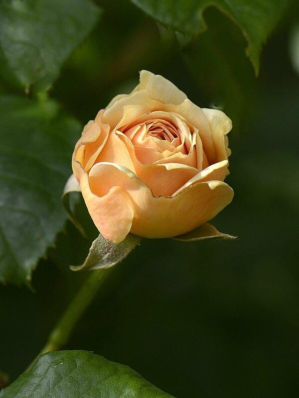 Rose saumon 3 08-06-17