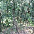 petits chênes en Aveyron