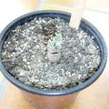 Aoe variegata