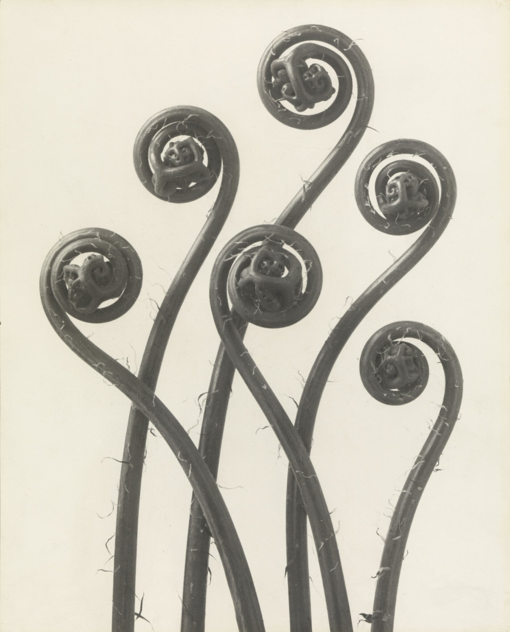 Exhibition of botanical photographs by Karl Blossfeldt opens at Pinakothek der Moderne