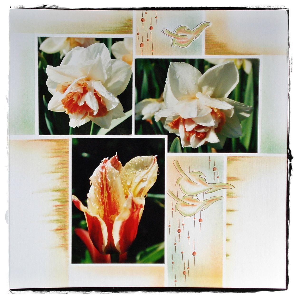 Narcisses et tulipe