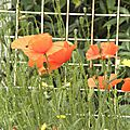 rouge-coquelicots (3)