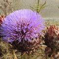Fleur d'artichaut sauvage