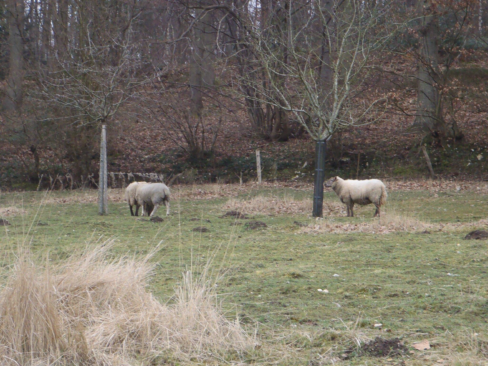 le pioupiou :cui-cui et les moutons bhé bhééé
