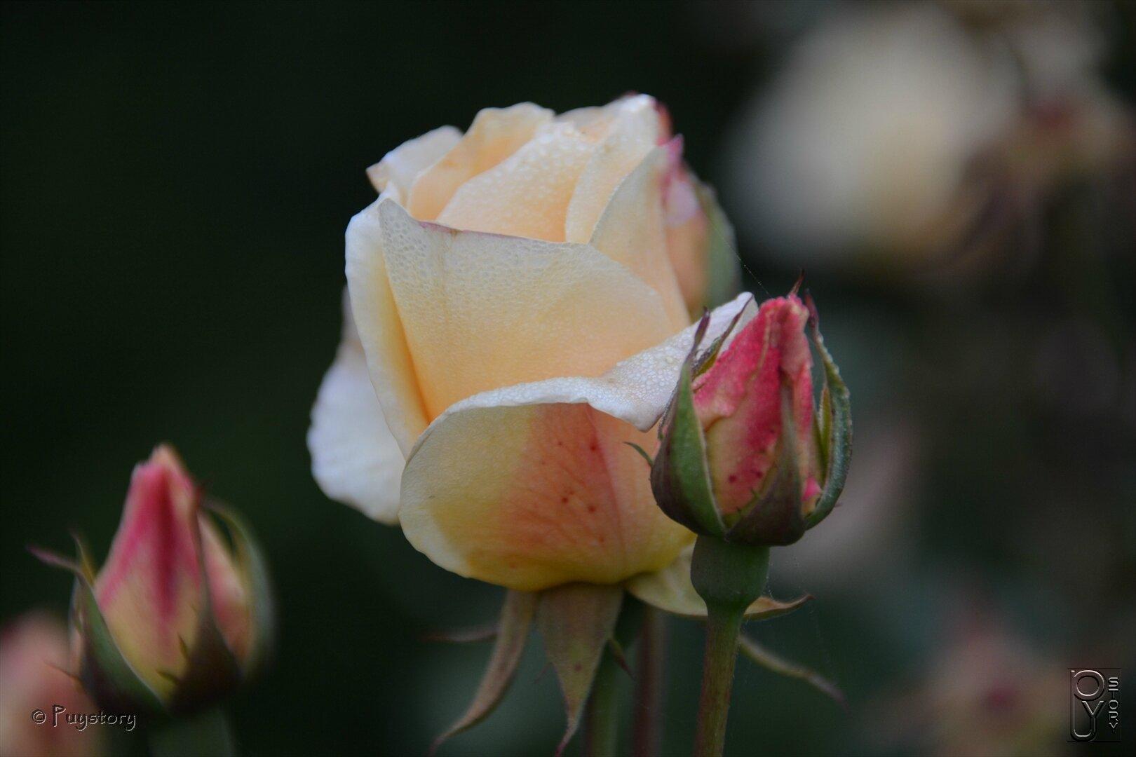 En rose et jaune.