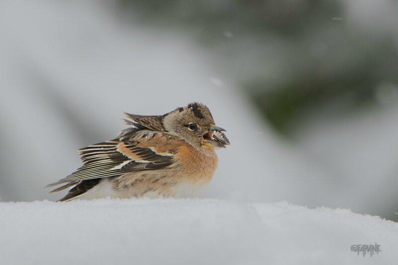 Pinson du nord femelle sous la neige