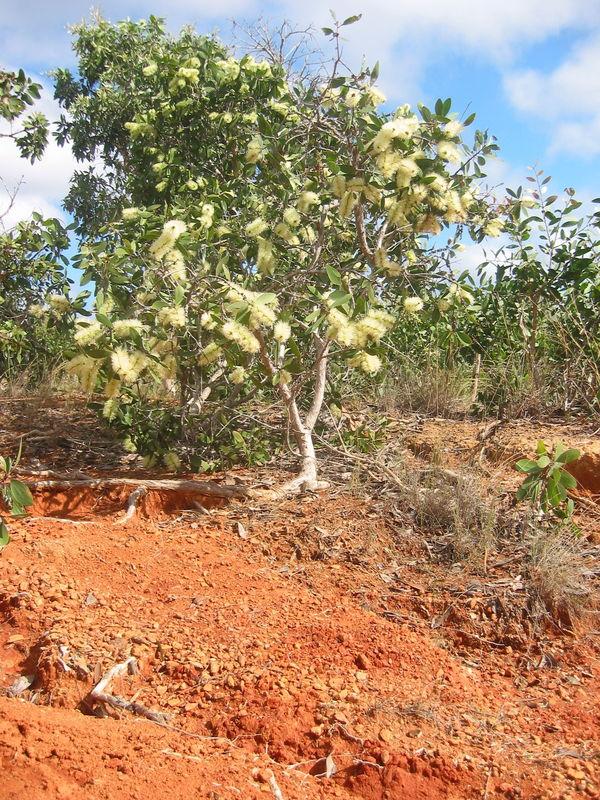 Le Niaouli - L'arbre