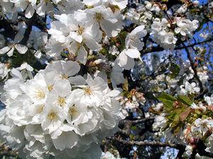 cerisiers_en_fleurs_1_