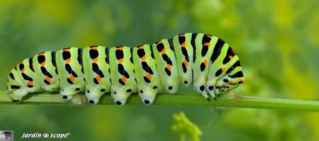 Chenille-Papilio-machaon
