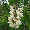 Acacia 160516