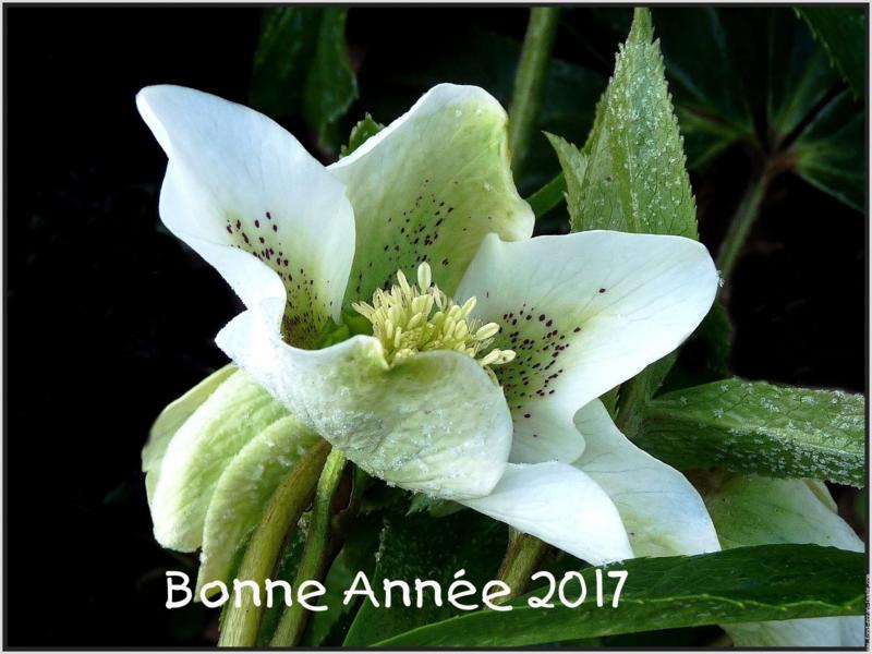 fleur-d-hellebore-gelee