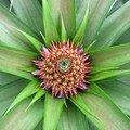 Jeune ananas