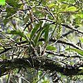 Orchidée épiphytes