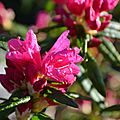Rhododendrons aux jardins ...